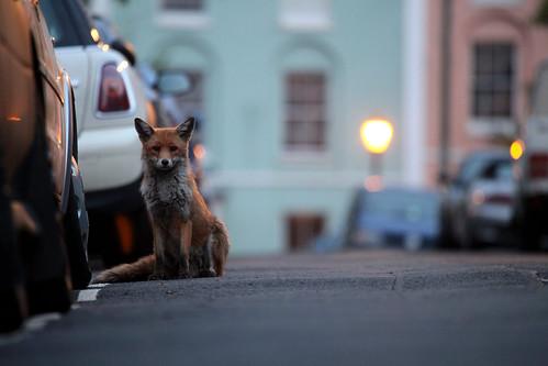 Urban Fox, vulpes vulpes, Bristol, Ian Wade