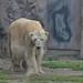 Die Eisbären in der Zoom Erlebniswelt im Mai 2013