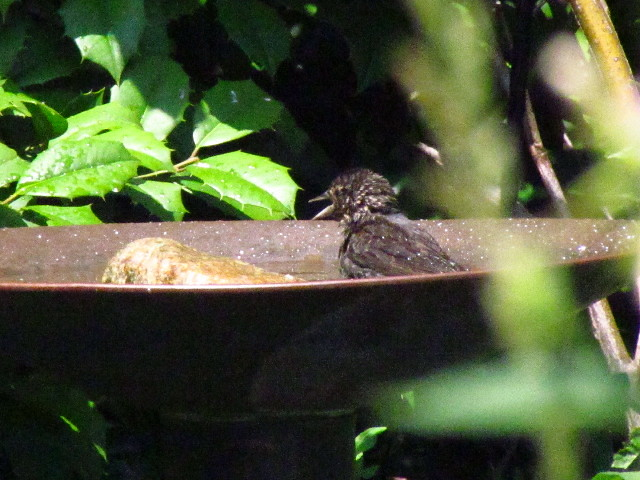 juv. Red-winged Blackbird?2 6:24:13