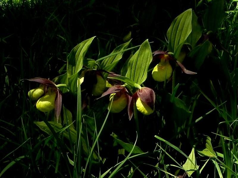 Cypripedium calceolus=Sabot de Venus (12)