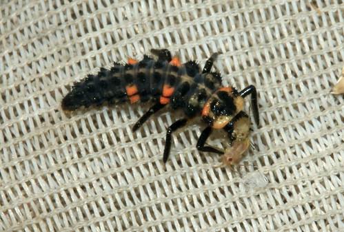 7 Spot Ladybird 20013