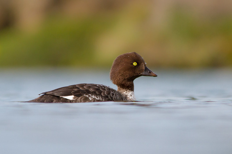 Húsönd - Barrows Goldeneye - Bucephala islandica