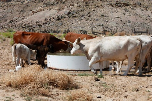 Cattle drink clean water from a new well on the Navajo Nation, dug with the help of NRCS.