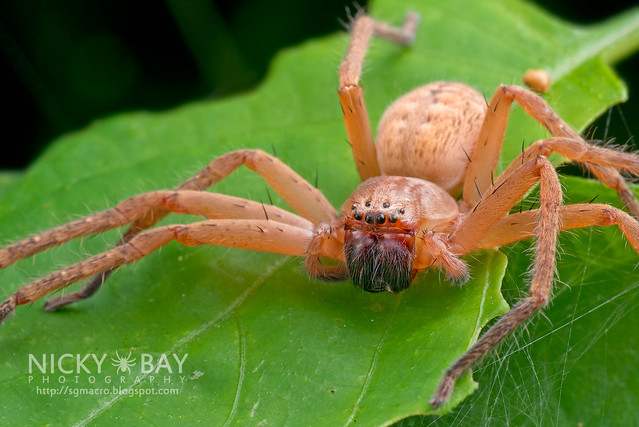 Huntsman Spider (Sparassidae) - DSC_1641