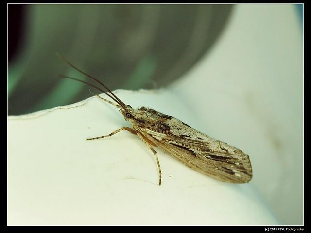 Unknown caddisfly