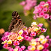 Late Summer Butterfly
