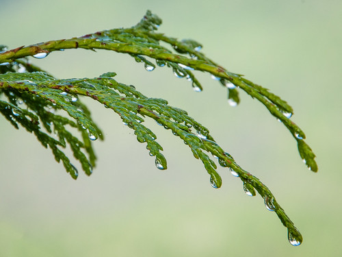 raindrops on cedar branch