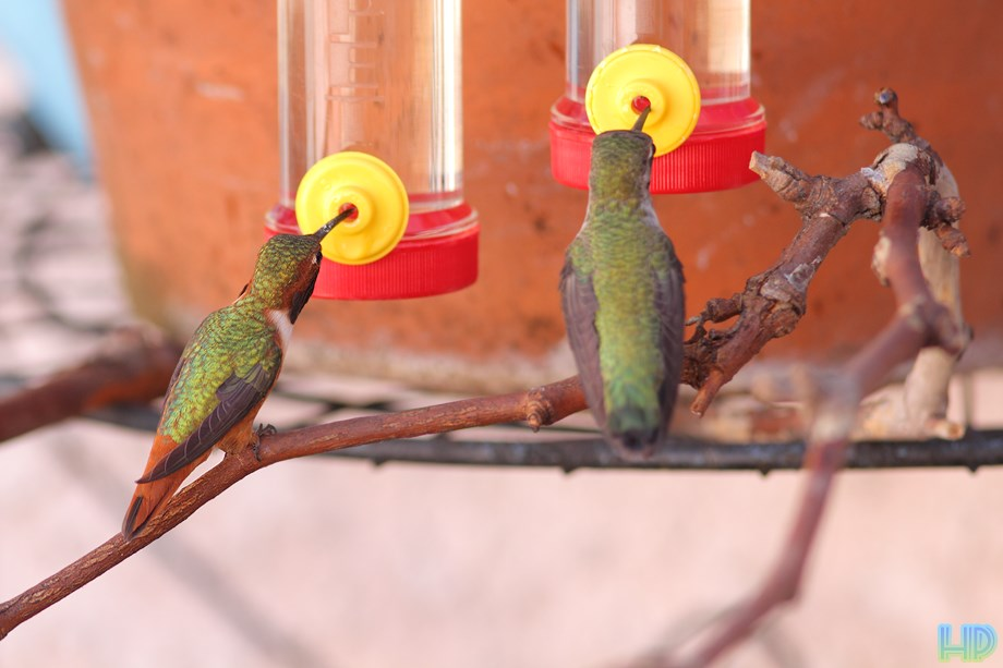 Allen's Hummingbird 101813-3