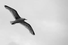 Gull 0813 8429