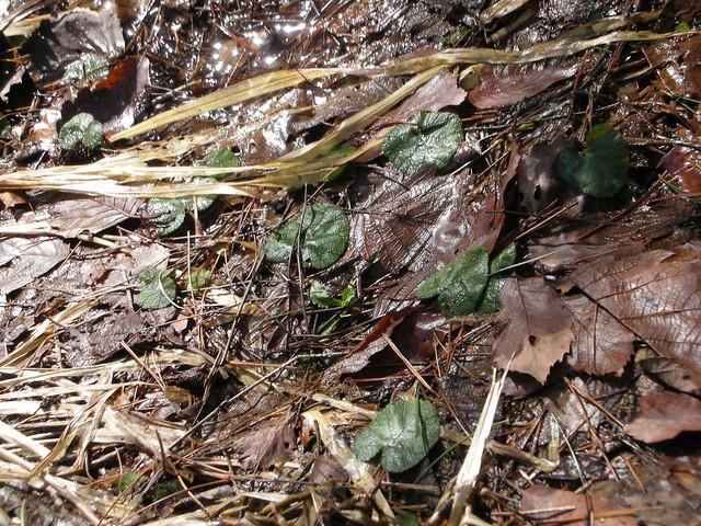 丸くて常緑の葉が目立っていたコバノフユイチゴ.