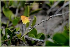 Xami Hairstreak Texas butterfly photography by Ron Birrell, DSC_4358