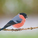 Bullfinch - Explored - by Wouter's Wildlife Photography