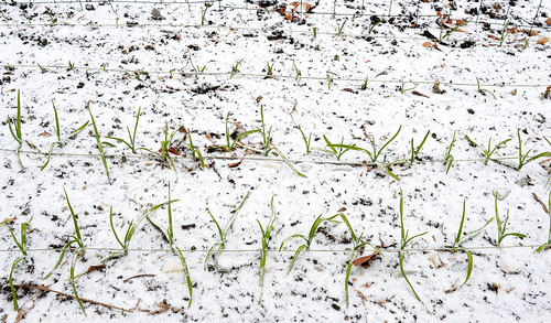 Steve's 2013 Garden-Garlic Sprouts In The Snow In December