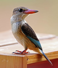 Brown-hooded Kingfisher, Sakania, DRC