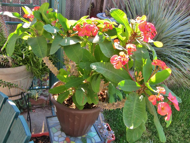 Euphorbia milii Crown of Thorns salmon 5