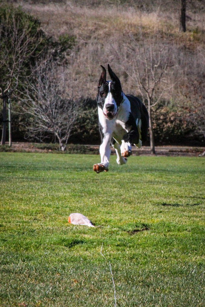 Dog Sport Saturday Disc Dog And Lure Course Sprinting