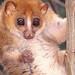 Primate Conservation: Pottos