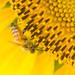 働き者には太陽の恵みを - Sunflower and bee -