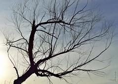 Tree Bones #1