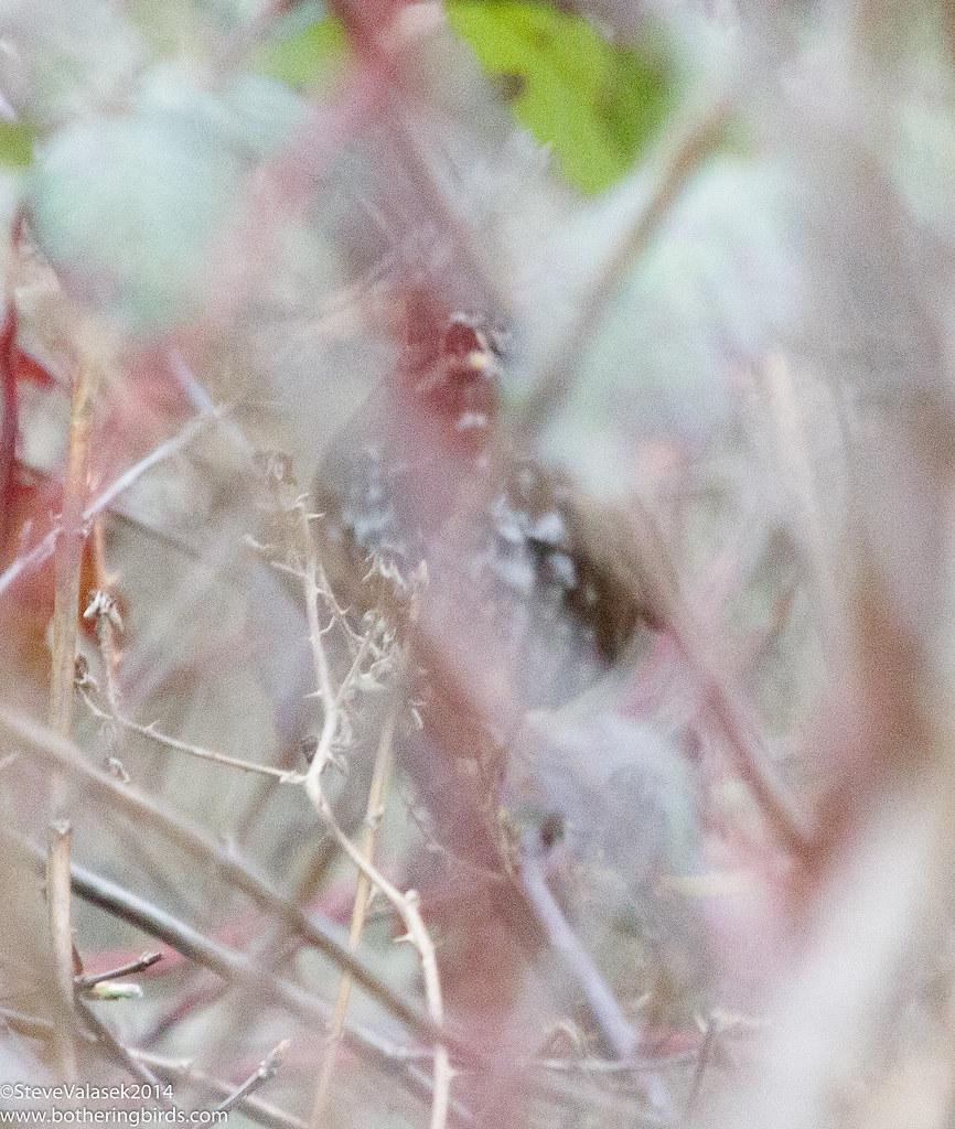 Thrush or Fox Sparrow?