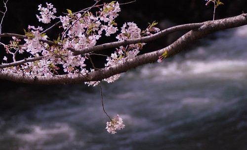 Single sakura & the river