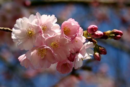 Pink flowering tree VI