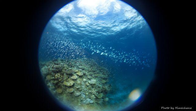グルクン幼魚とロクセンスズメダイの群れ