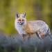 Fox by Burrard-Lucas Wildlife Photography