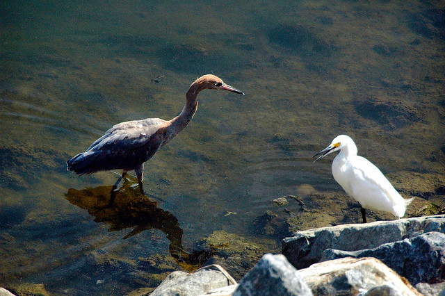 Red Heron and Snowy Egret