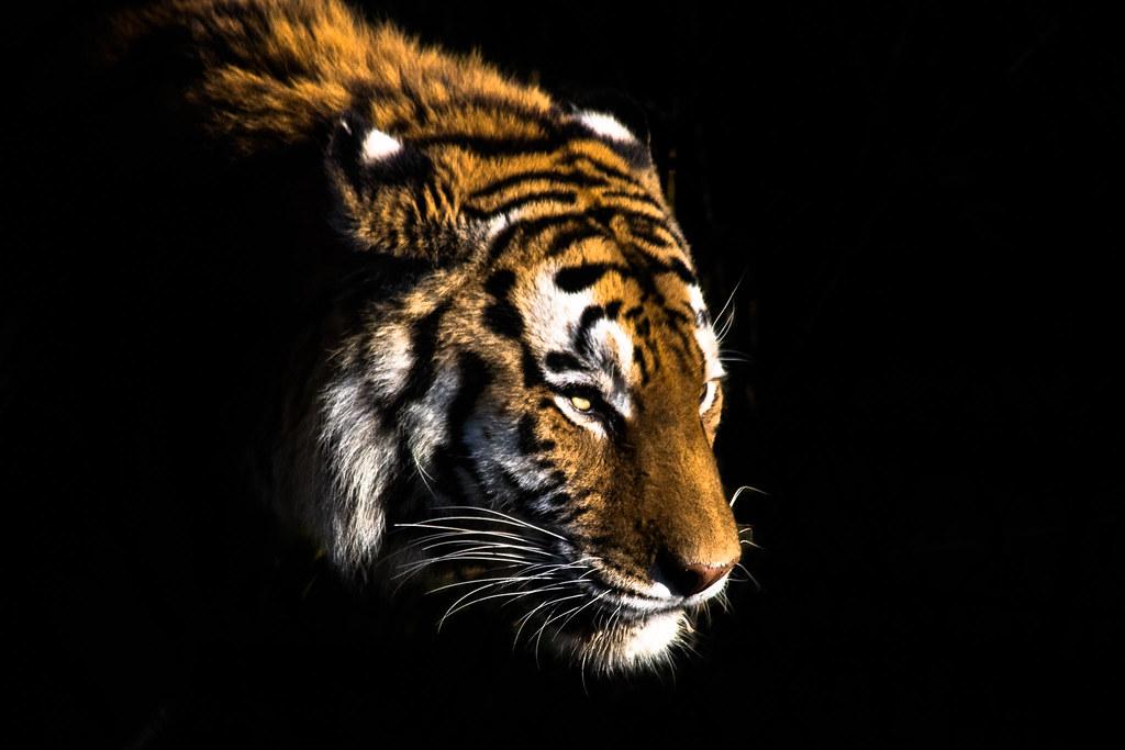 tiger colored black background | Yvonne Katrin | Flickr