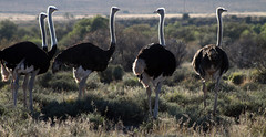 animal, prairie, ostrich, flightless bird, fauna, savanna, safari, bird, ratite, wildlife,