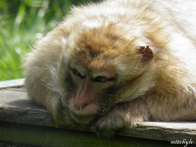 Barbary Macaque 3