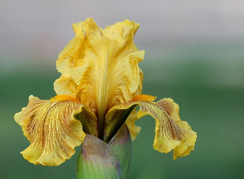 Iris Rio de oro