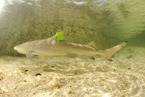 有標記的檸檬鯊。陳餘鋆提供。