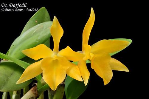 Bc. Daffodil by Mauro Rosim