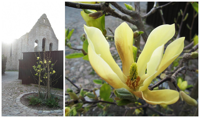 Yellow Magnolia in Visby