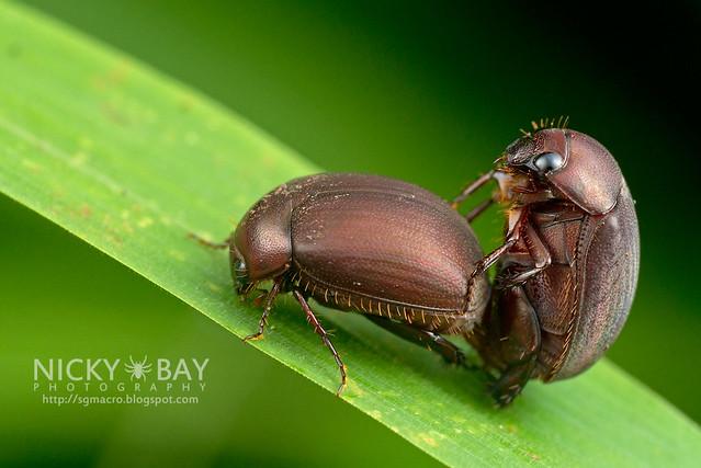 Mating Beetles - DSC_3529