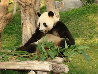 142 Reuze panda zit te eten