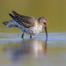 Stilt sandpiper by Phiddy1 way, way behind