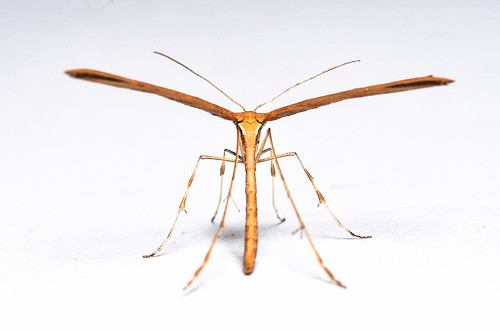 <p><i>Emmelina monodactyla</i>, Pterophoridae<br /> Simon Fraser University, Burnaby, British Columbia, Canada<br /> Nikon D5100, 105 mm f/2.8<br /> October 4, 2013</p>