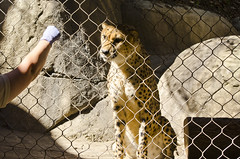 cheetahfood