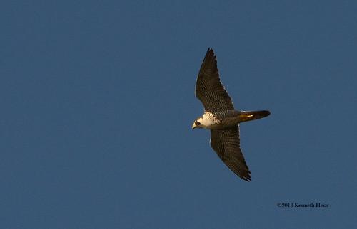 iowa falcon peregrine