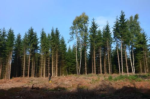 Eine Rodung im Fichtenwald. Vorne ist ein einzelner Waldarbeiter zu erkennen