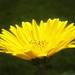 Yellow-Sun