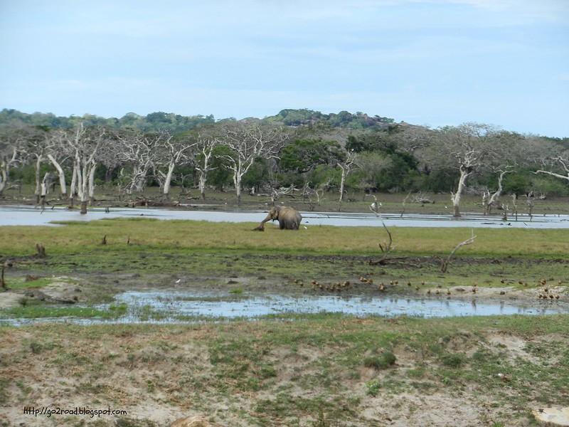 Слон. Ялла. Шри Ланка