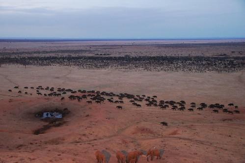 holiday elephant buffalo kenya african large lodge east safari cape elefant bovine kenia ost tsavo reise tsavoeast synceruscaffer voi büffel caffer afrikanischer syncerus kaffernbüffel tsavoost voisafarilodge
