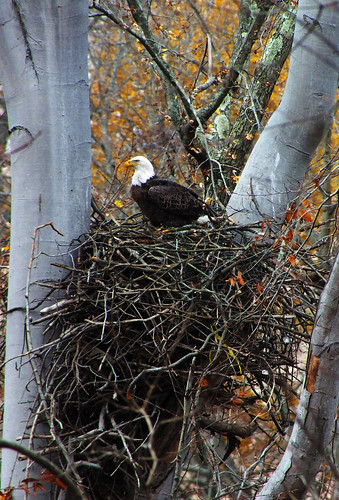 Bald eagle in the wild!
