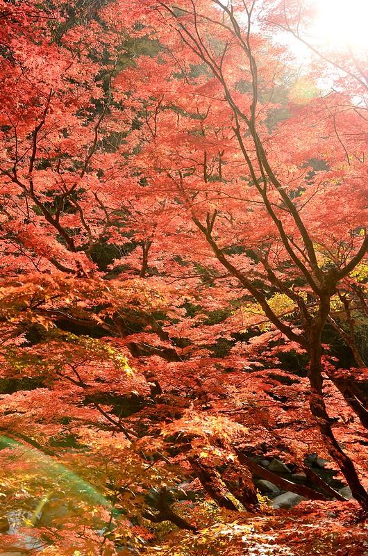 夏井川渓谷-西日の紅葉