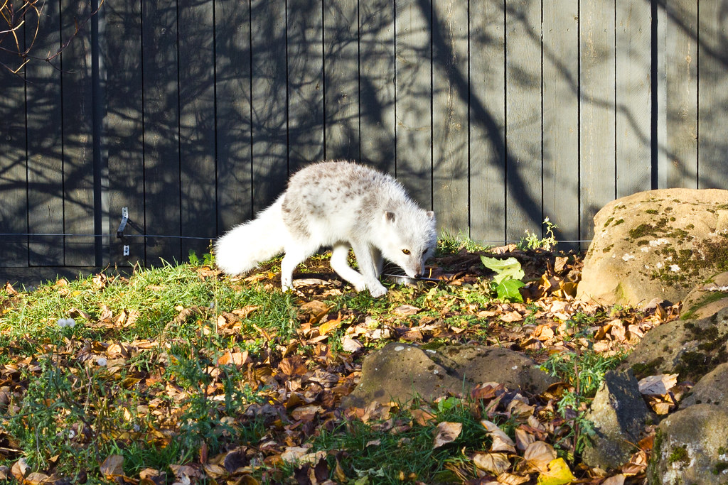 Monday, October 21: Arctic foxes at the Reykjavik family park & zoo.