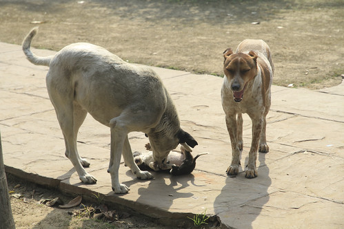 dogs live around the entrance of world heritage Humayun's Tomb